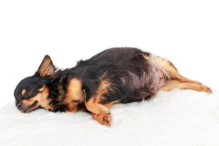 「犬の乳首(乳腺)」主な病気②【偽妊娠(想像妊娠)】