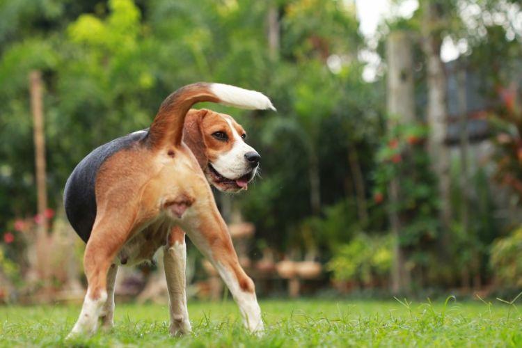 【獣医師監修】犬の膣(外陰部)が赤い(おりもの・膿)。考えられる原因や症状、主な病気は?