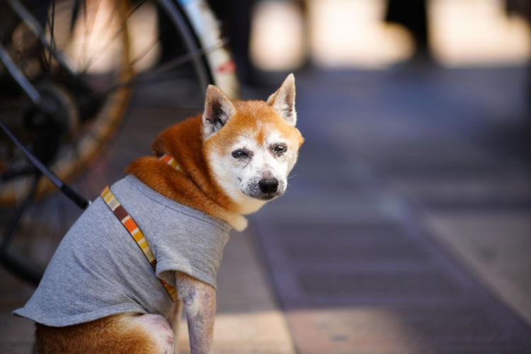 【老犬の散歩】いつまで必要?