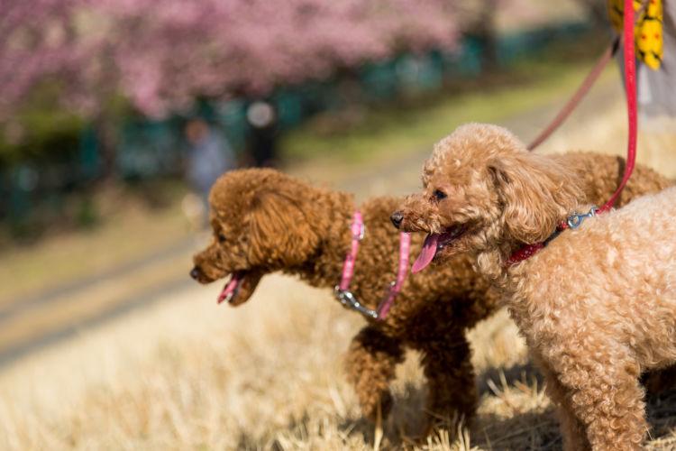 【老犬の散歩】季節(夏・冬)ごとの注意点