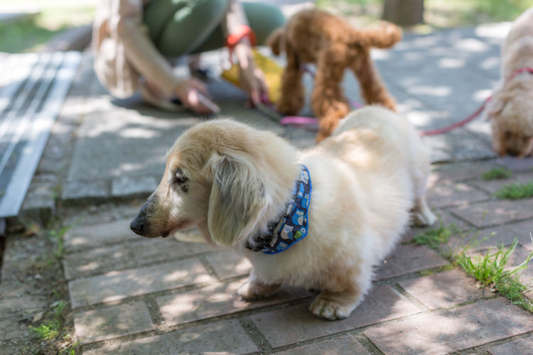 老犬の散歩の注意点①【夏】