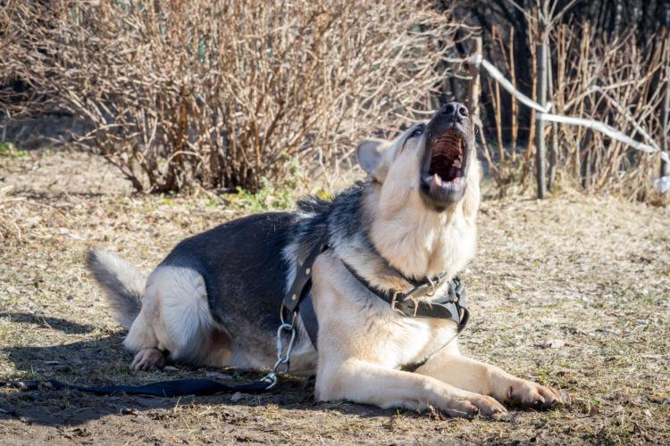 老犬の吠える原因・理由②【不安】