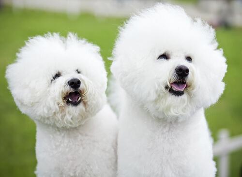 白くてふわっふわな毛質が特徴。活発で陽気なビション・フリーゼの性格