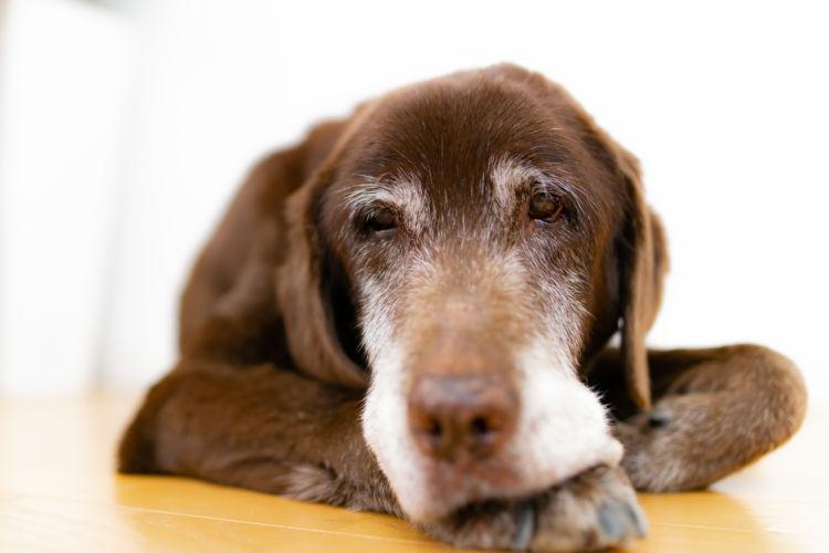 【獣医師監修】老犬のてんかん発作の原因や理由は?対処・治療法(副作用)、治療費、予防対策は?