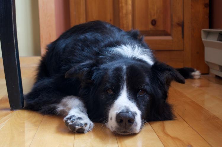 老犬のてんかん【気をつけたい犬種】