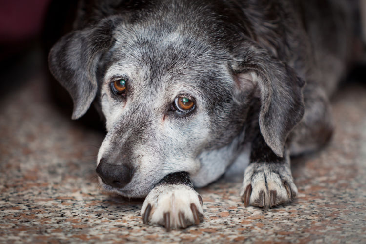 【老犬の寝たきり】原因や理由②「怪我・病気」