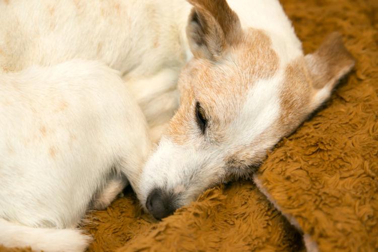 【老犬の寝たきり】対応と対処法⑤「床ずれ」