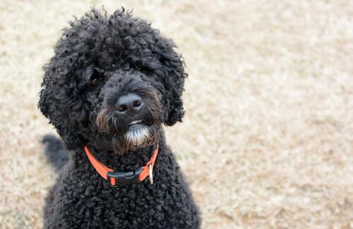 アレルギーがあっても犬は飼える!抜け毛の少ない犬種4選