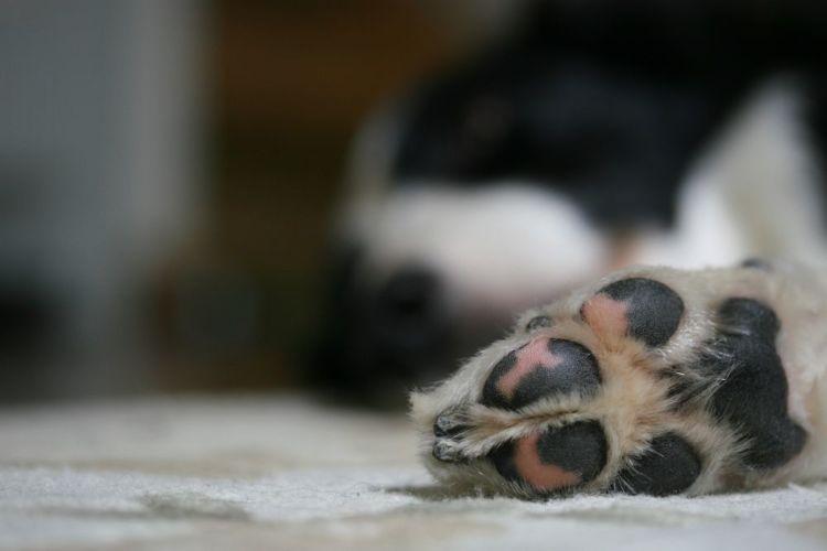 老犬 散歩 足の裏
