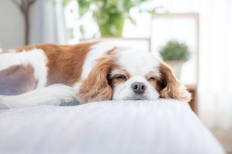 【獣医師監修】老犬が寝たきりになったらどうする?原因や理由、対処、注意点やポイント、予防法!