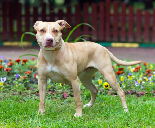 世界最強の犬種といえば、ピットブル!?寂しがり屋な一面も持っている、実は愛情深い犬に迫る