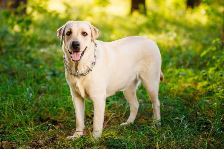 ラブラドール・レトリバー 大型犬