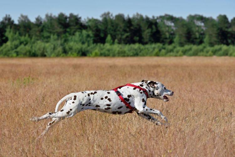 ダルメシアン 猟犬