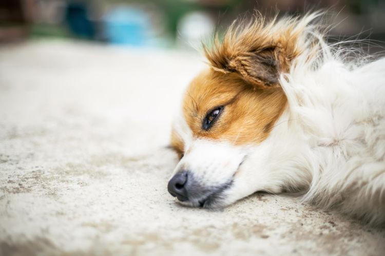 犬が「にんにく」を誤食した際のアレルギーや中毒症状は?