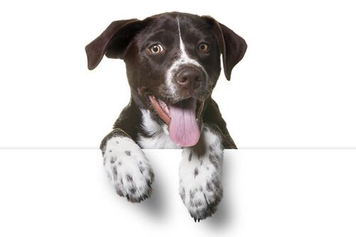 犬のミックスは寿命が短い?今人気のミックス犬が持つ遺伝病の多さ