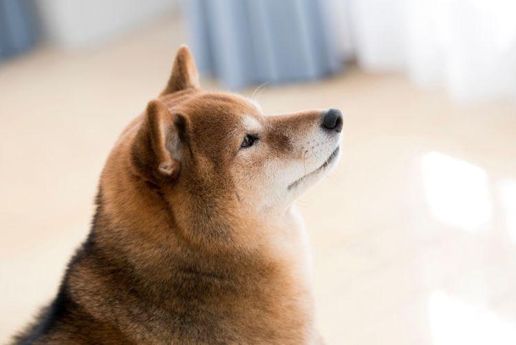犬のトイレ(排泄)「しつけ」①【柴犬】