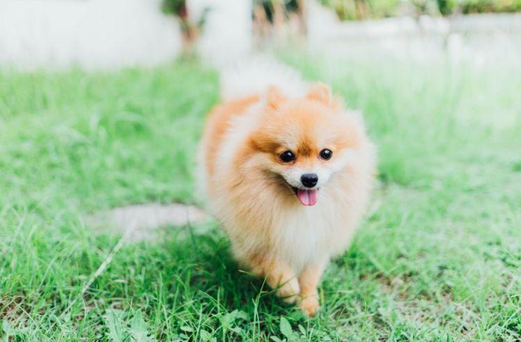 犬のトイレ(排泄)「しつけ」⑥【ポメラニアン】