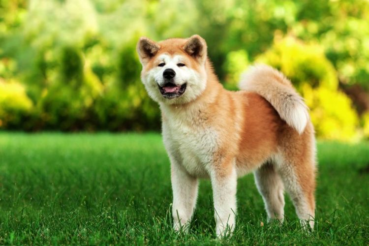 犬のトイレ(排泄)「しつけ」⑮【秋田犬】