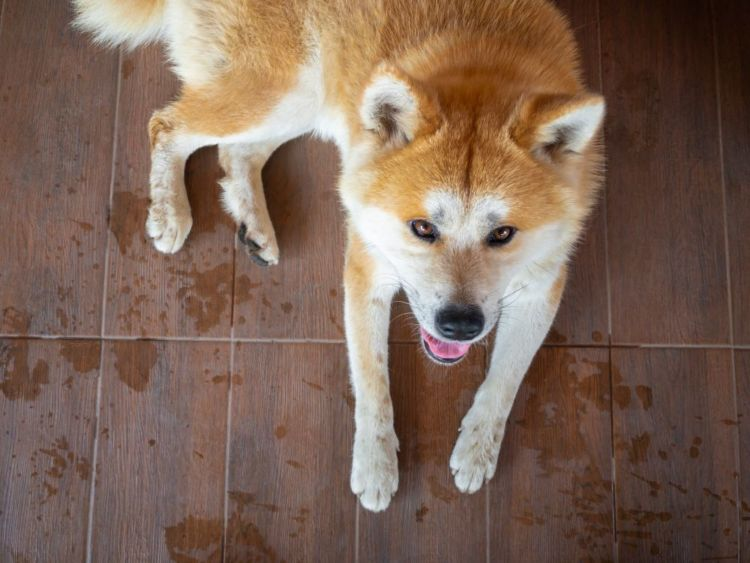秋田犬 トイレトレーニング