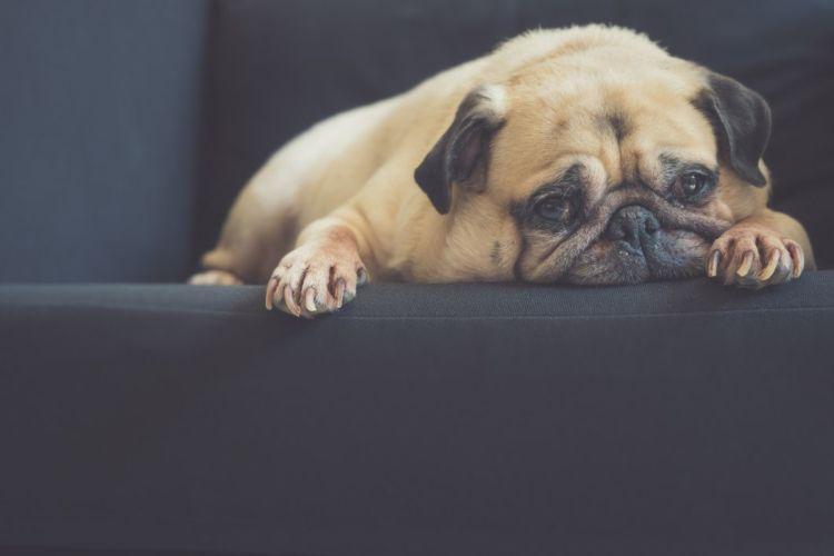 キシリトール 犬 低血糖