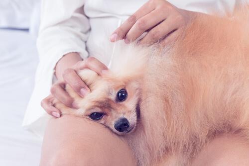 飼い主が知っておきたい犬の耳掃除の正しい方法