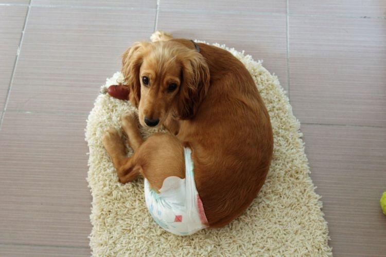 老犬のおむつの問題と対処法③【かぶれる・蒸れる】