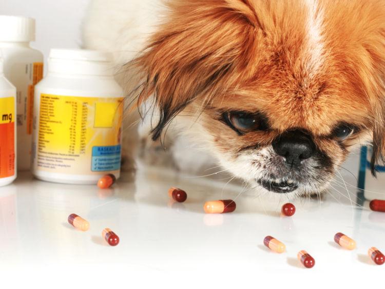 【獣医師監修】愛犬が人間用の薬を誤飲した場合、死亡の可能性も?症状や対処法、予防対策!