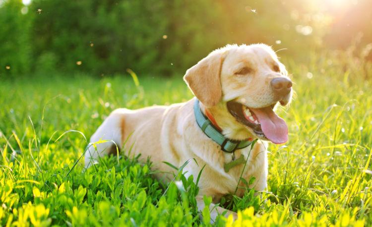 犬のフィラリア予防薬【必要?効果はある?】