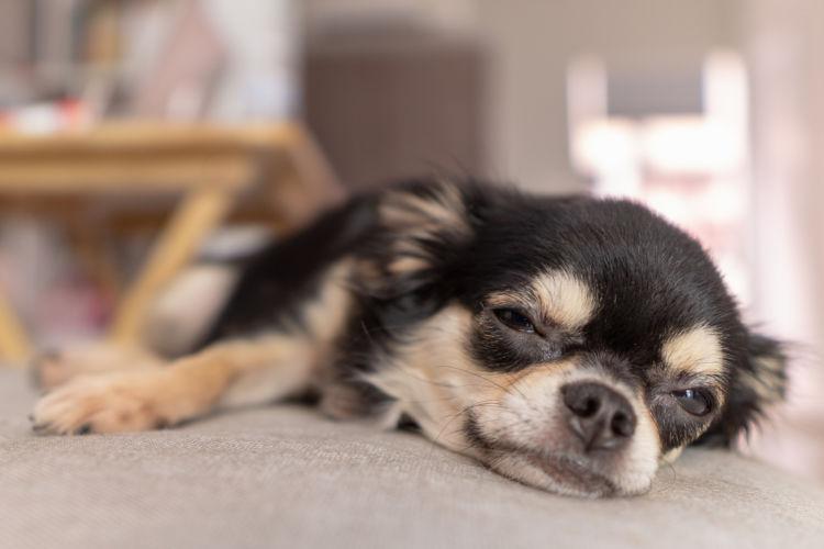 犬 フィラリア 感染