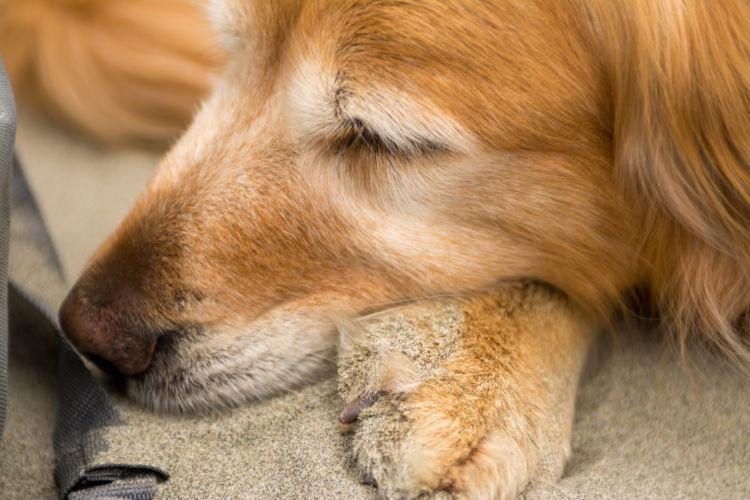 フィラリア予防【老犬】