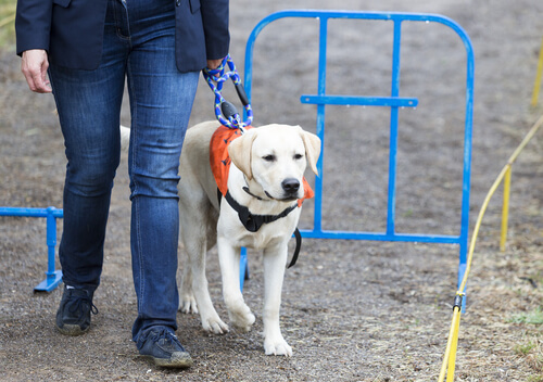 ラブラドール・レトリバーが盲導犬に向いている理由その②~外見