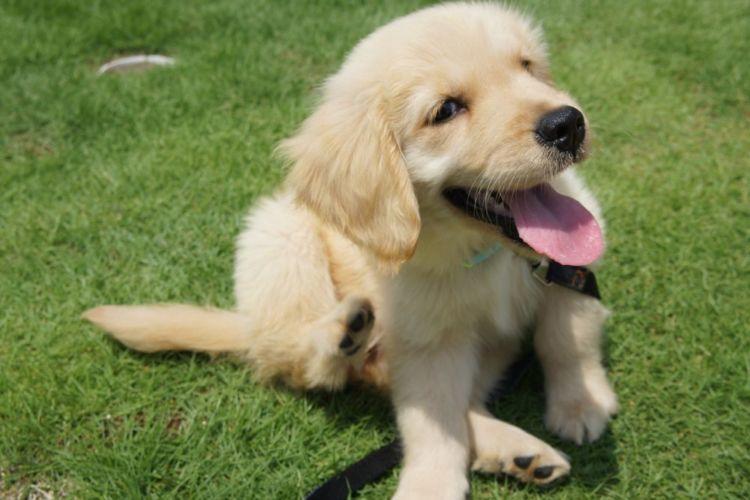 犬のアレルギー【出やすい犬種は?】