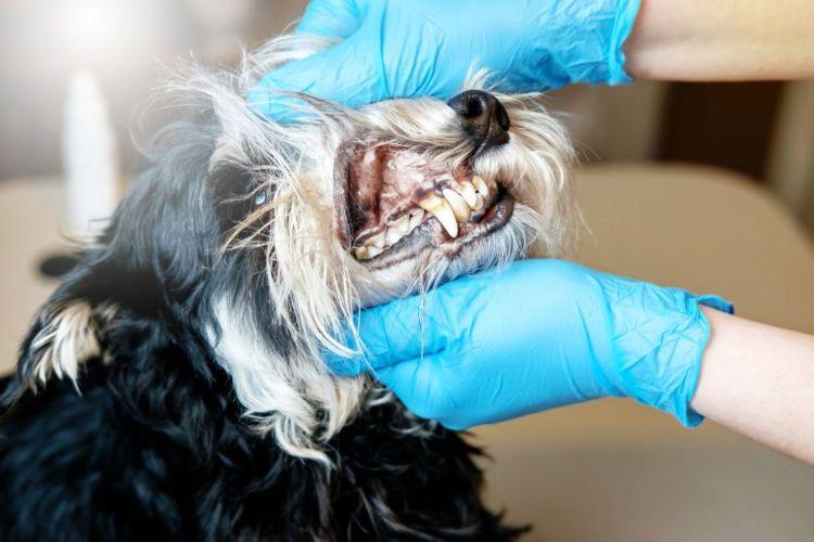 【獣医師監修】犬の歯周病、原因や症状(重度・軽度)は?対処・治療法、治療費、予防対策は?