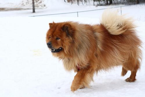 超古代犬種の知られざる秘密!チャウチャウの性格と特徴に迫る!
