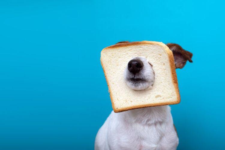 【獣医師監修】犬が食パン(耳)を食べても大丈夫?適量は?アレルギーや塩分、肥満に注意!