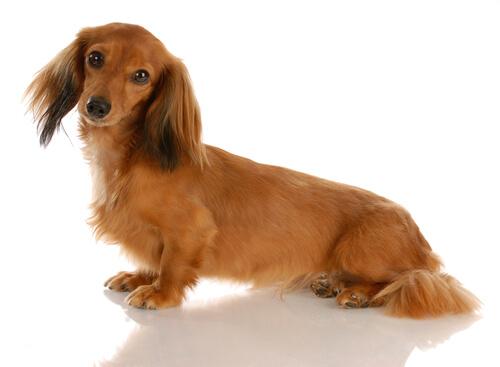 【獣医師監修】ミニチュア・ダックスフンド 超人気犬種の知っておきたい特徴と性格まとめ