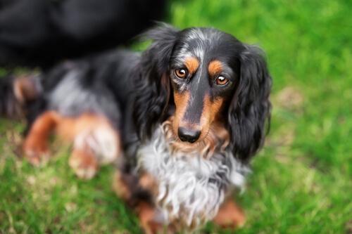 ミニチュア・ダックスフンドの性格~好奇心旺盛で人が大好き、魅力いっぱいの家庭犬