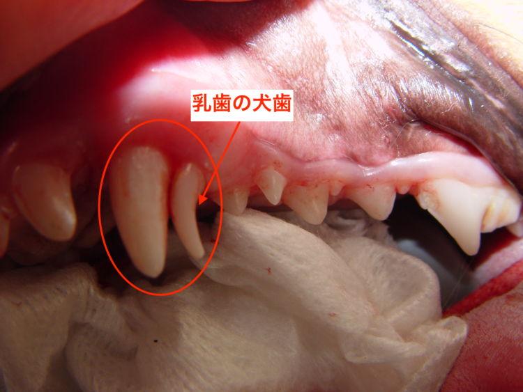 乳歯遺残の例。上顎の犬歯が2本になってしまっている(赤い丸印)。後ろの小さな歯が乳歯/©フジタ動物病院