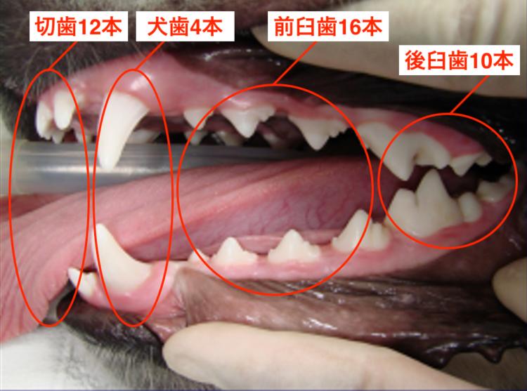ラブラドール・レトリバー(1歳)切歯・犬歯・前臼歯・後臼歯の42本が永久歯