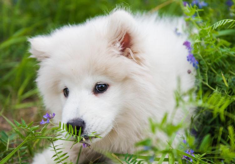 犬の寿命㉕【サモエド】