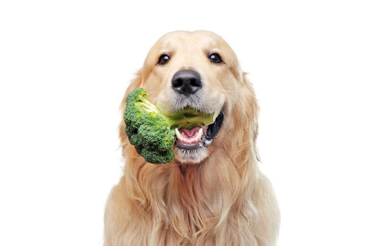 犬がブロッコリーを食べても大丈夫!