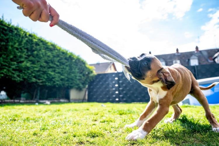 【獣医師監修】犬が誤飲した布が出てこない!?吐かせてはダメ?症状や対処法、予防対策は?