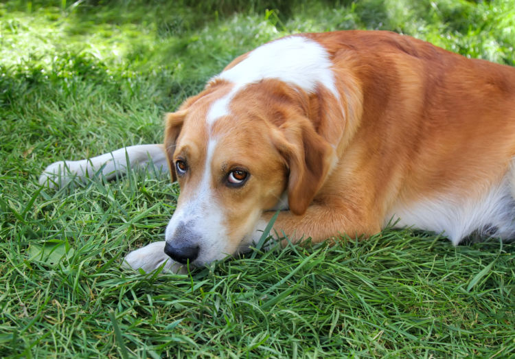 【獣医師監修】犬が誤飲したビニール(袋)が出てこない!?食べる原因や症状、対処・予防方法は?