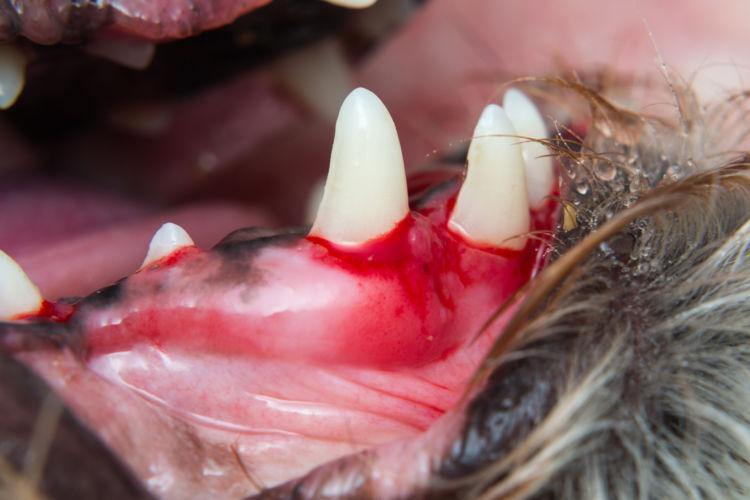 犬の顎骨骨折「原因」②【歯周病(病気)】