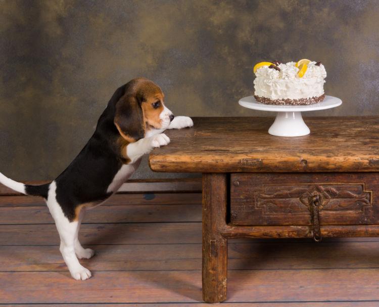【子犬・老犬】が生クリームを食べても大丈夫?