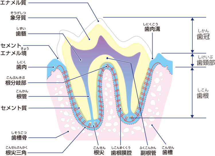 犬の外歯瘻(がいしろう)【原因は?】