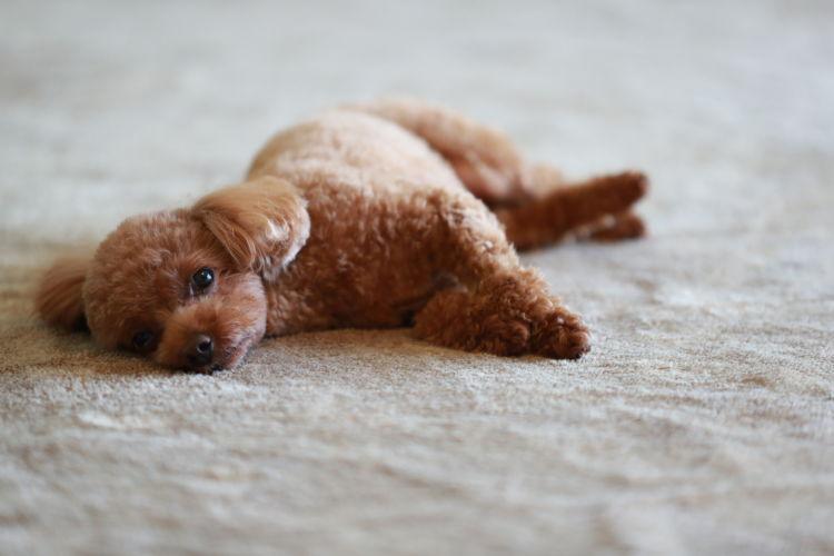 【内分泌科担当獣医師監修】犬の「低血糖症」原因や症状、なりやすい犬種、治療法方法は?