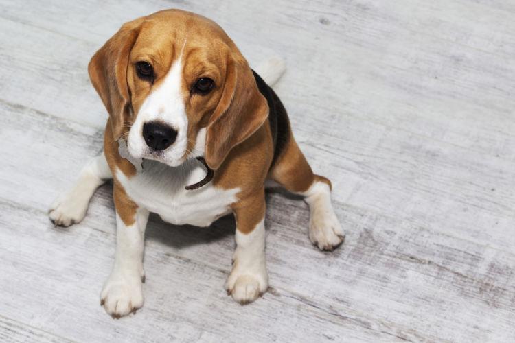【内分泌科担当獣医師監修】犬の「高脂血症」原因や症状、なりやすい犬種、治療方法は?