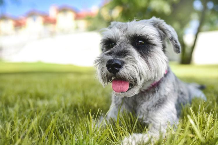 犬の高脂血症【発症しやすい犬種】