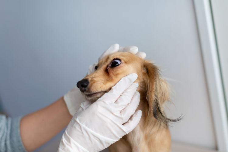 犬の口腔鼻腔瘻(こうくうびくうろう)【なりやすい犬種】